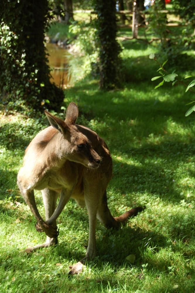 Kangaroo, Fota