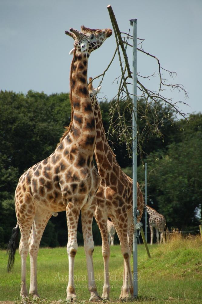 Giraffes, Fota Wildlife Park