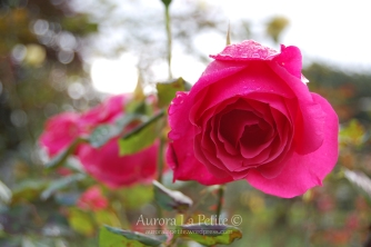 Pink Roses UCC