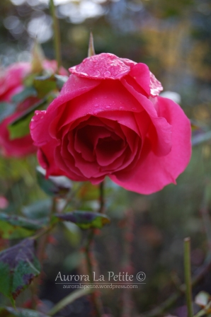 Roses Covered in Raindrops