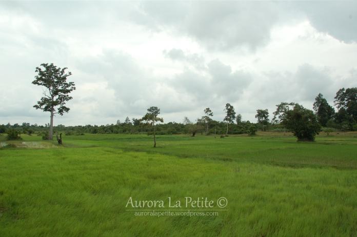 Windswept Rice Paddies